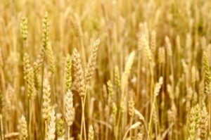 Eating ancient wheat